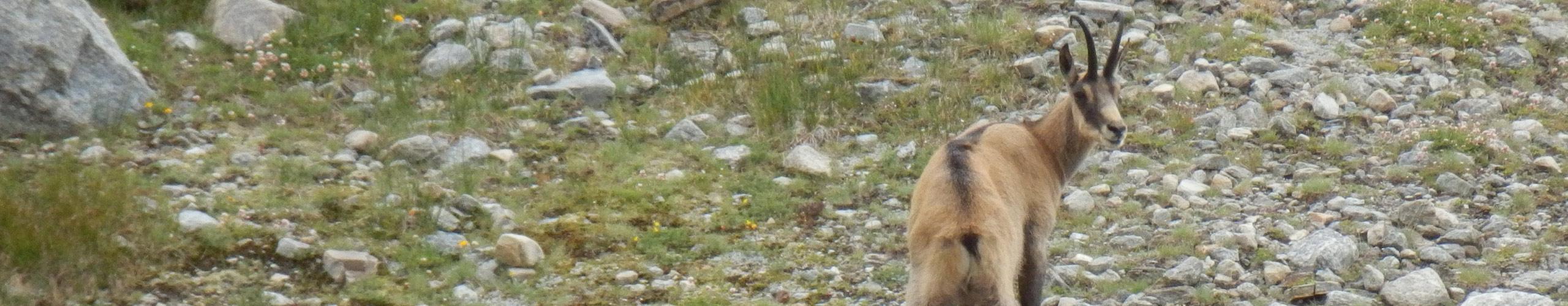 chamois dans le parc national italien